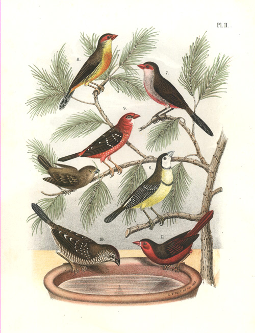 Birds of the Finches family. Half-priced lithograph c1882.