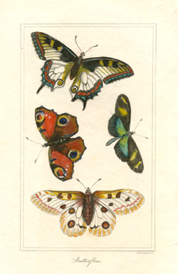 Small Butterflies antique print engraved by Samuel Davenport c1822.
