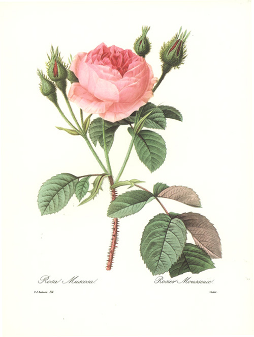 Redoute Rose, Rosa Muscosa. Rosier Mousseux. Reproduction print.