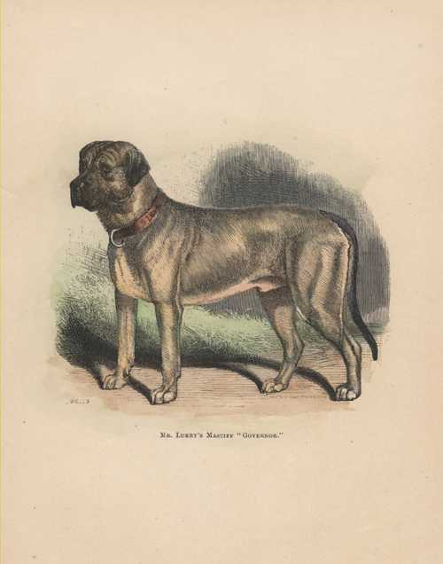 "Mastiff ""Governor"" antique print. Walsh c1878"