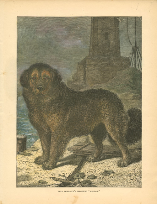 "Herr Friedrich's Berghund ""Moulon"" mountain dog antique print c1890."
