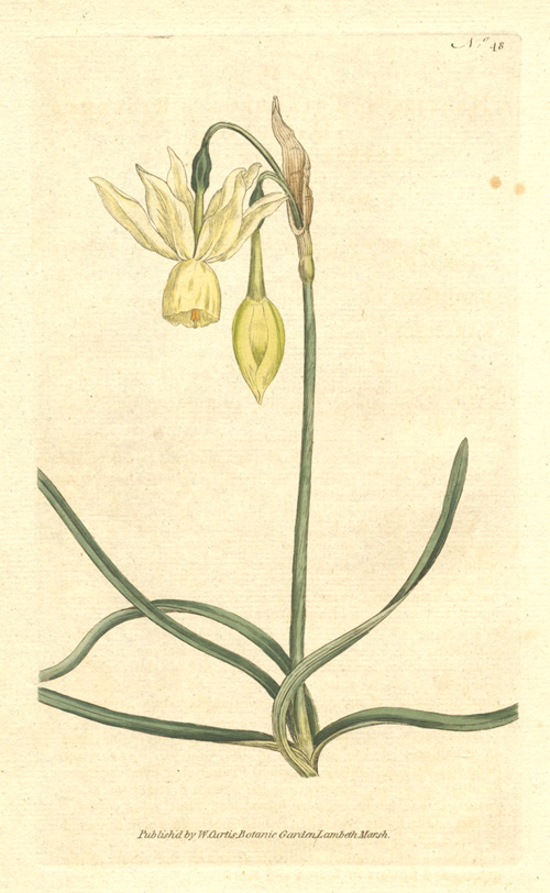 William Curtis Daffodil illustration. Narcissus Triandrus. Reflexed Daffodil c1788.