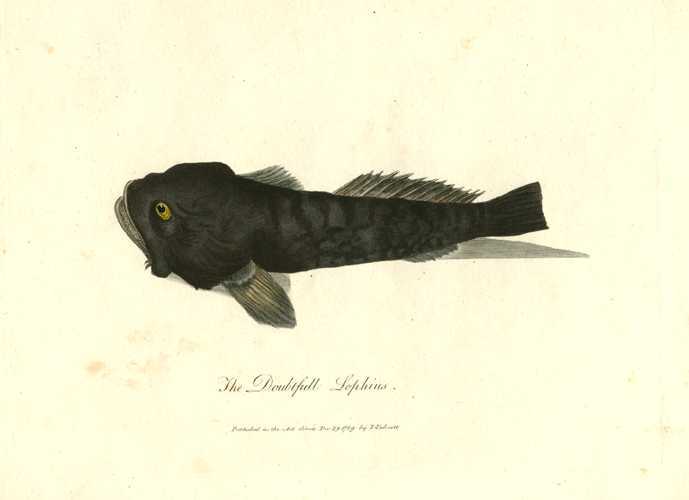 Antique print of Australian Blotchtail Toadfish (Lophius Dubius) c1790.