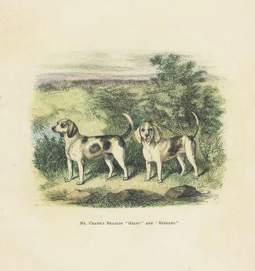 Black and White Beagles Antique Print c1875
