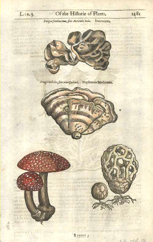 Gerarde's Herball. Poisonous Mushrooms. Fungi, Poyfonous Mufhrums. c1597