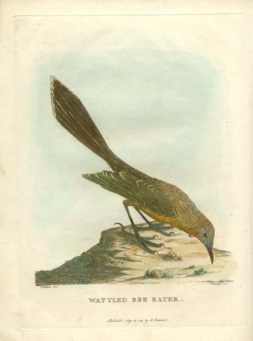 Wattled Bee Eater engraving for Gov. Phillip's Voyage