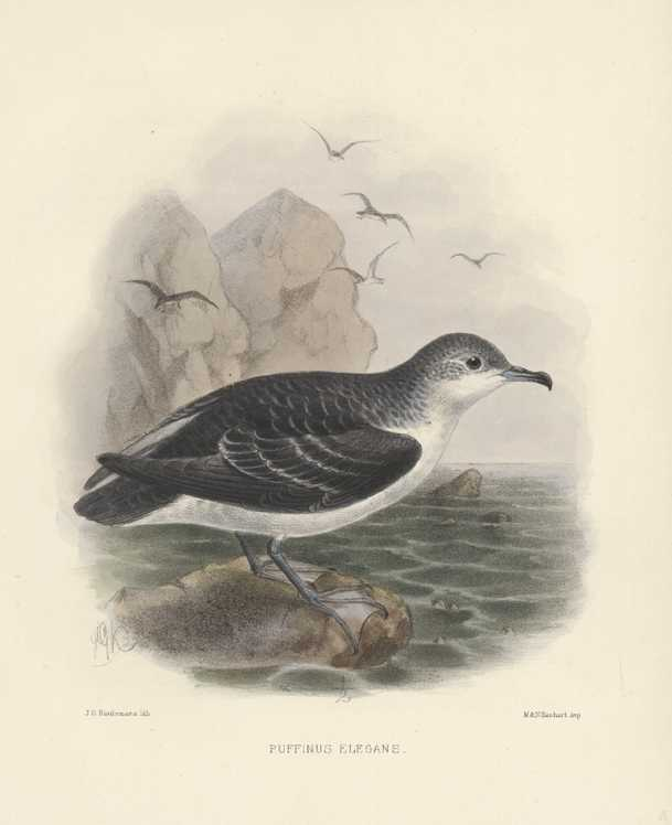 Keulemans, Puffinus elegans. Elegant Puffin lithograph by c1875.