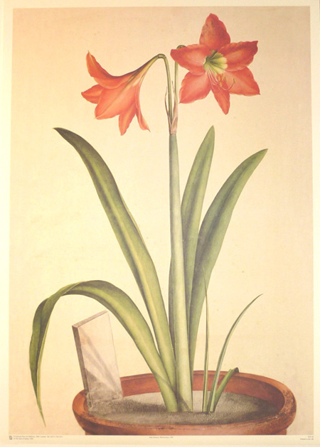 Large Lily image. Lilio, Narcissus Indicus. Reproduction print.