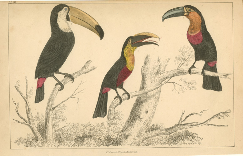 Antique print of 3 Toucans. Oliver Goldsmith, c1848.