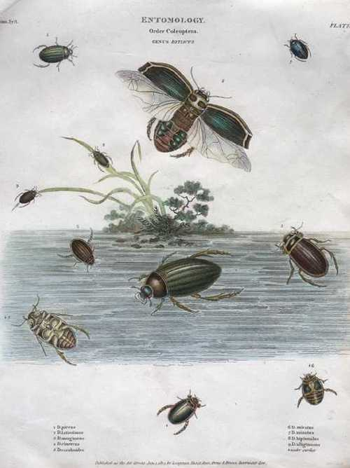 Rees. Entomology Order of Coleoptera engraving c1814