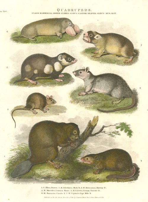 Beaver, Musk Rat, Mouse, Hamster, Mole antique print.