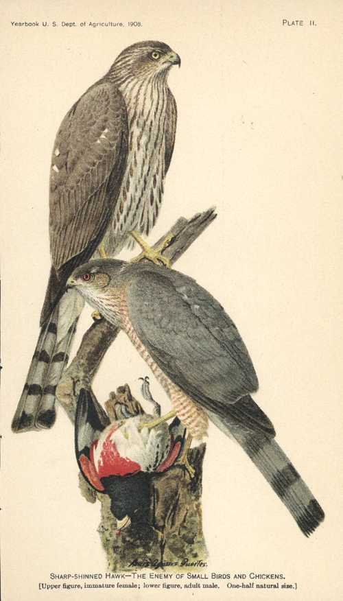 Sharp-shinned Hawk - The Enemy of Small Birds. Lithograph c1908