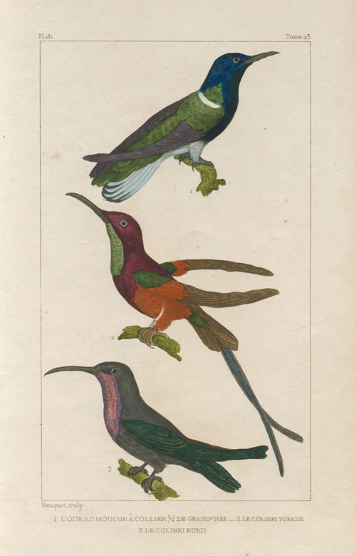 Brightly-coloured Humming-Birds: L'Oiseau Mouche.. Pauquet engraving c1830