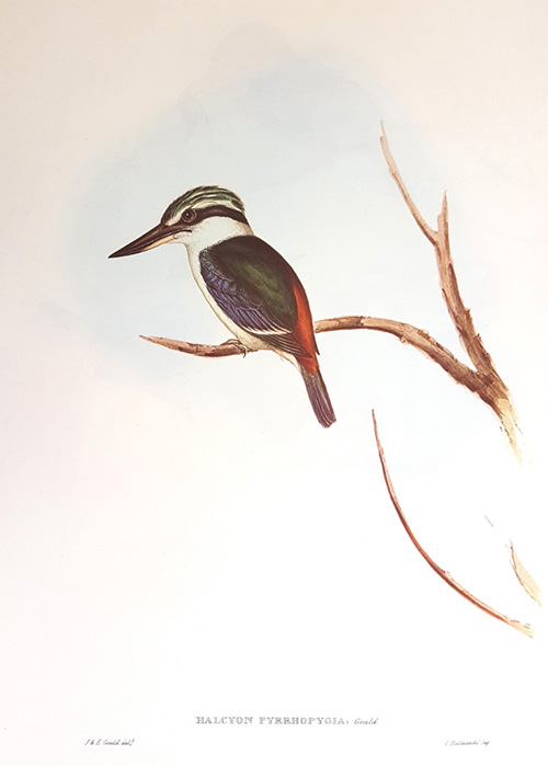 Elizabeth Gould Red-backed Kingfisher, John Gould Halcyon Pyrrhopygia