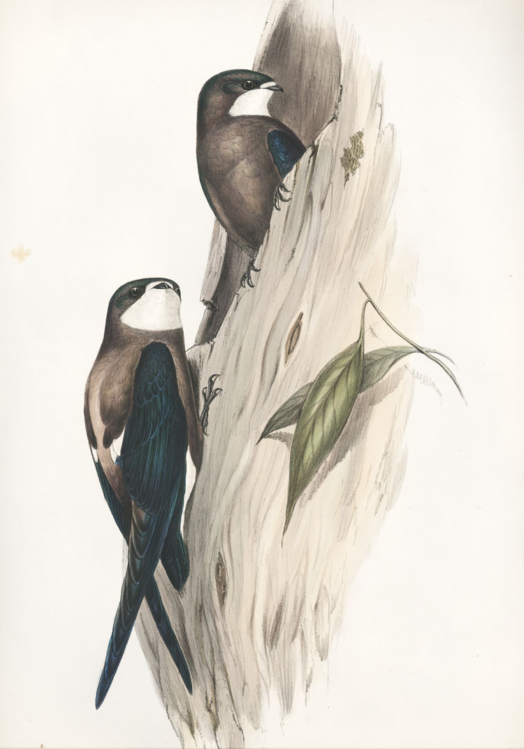 John Gould Acanthylis caudacuta, Spine-tailed Swallow lithograph c1840.
