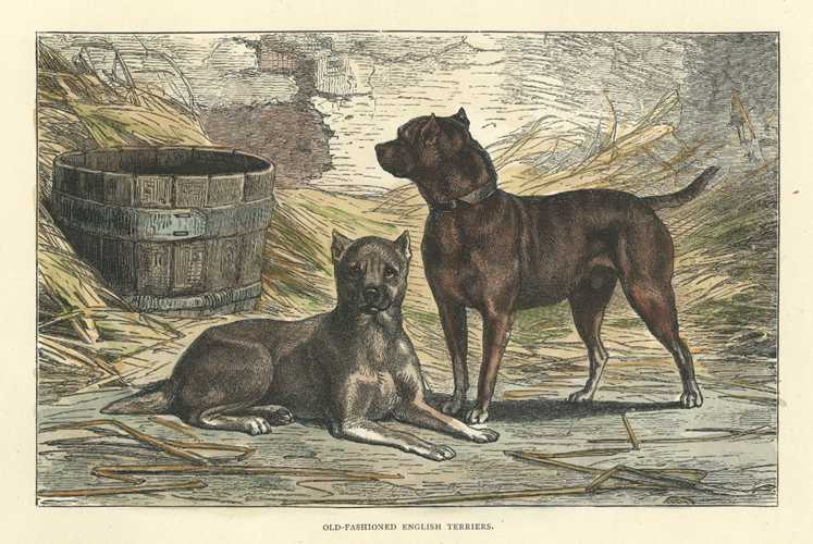 Old-fashioned English Terriers, Cassell antique engraving c1880