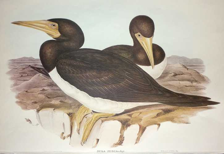 John Gould Gannet, Sula fusca reproduction print