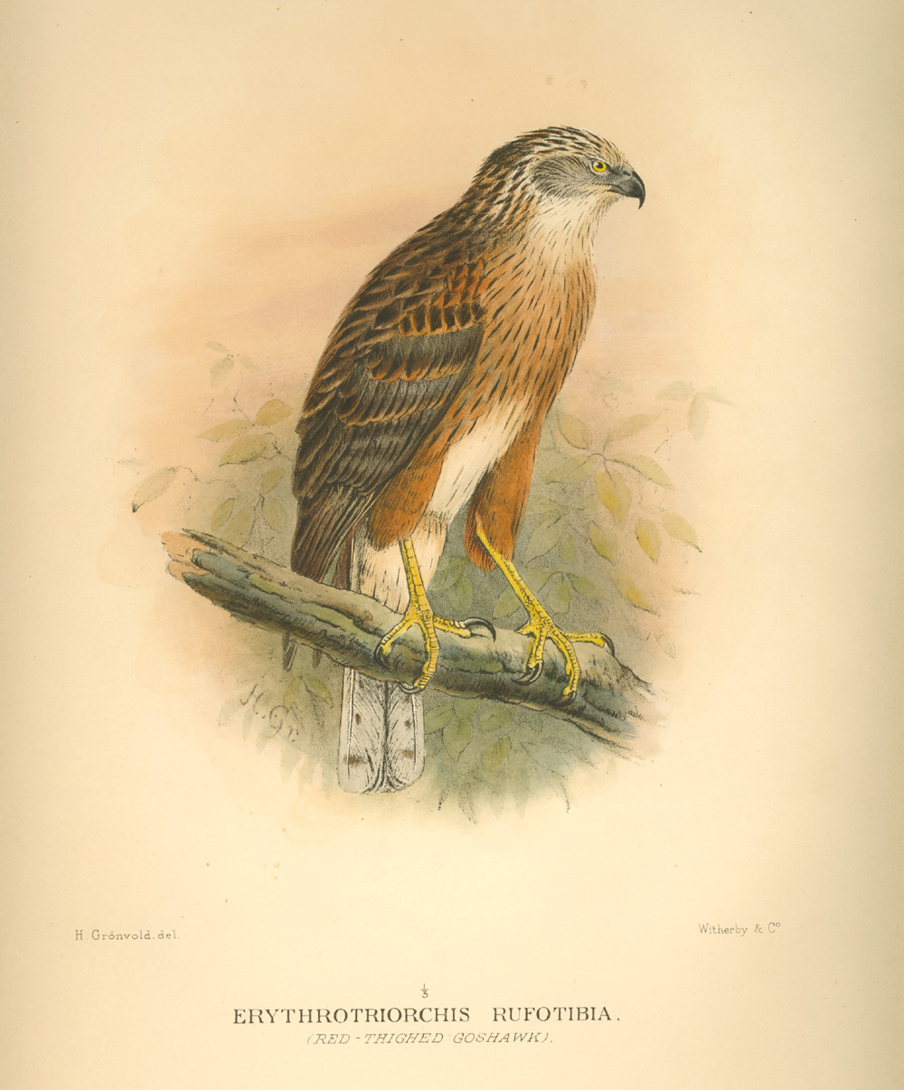 Australian Red-thighed Goshawk. Erythrotriorchis rufotibia. Mathews Birds of Australia c1910-27.