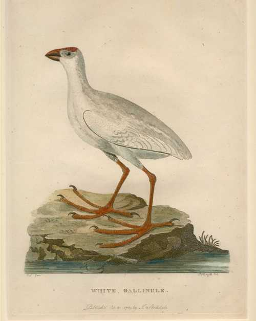 Australian White Gallinule antique engraving for Governor Phillip c1789