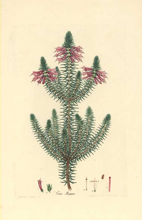 Erica purpurea. Henry Andrews Heath engraving c1805