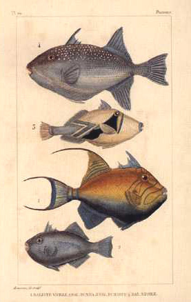 Baliste vieille little print of Fish. Reproduction after Buffon c1780.