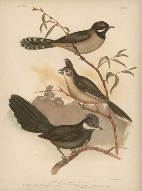 Broinowski bird lithograph of Australian Whip-birds and Wedge-bill c1890.