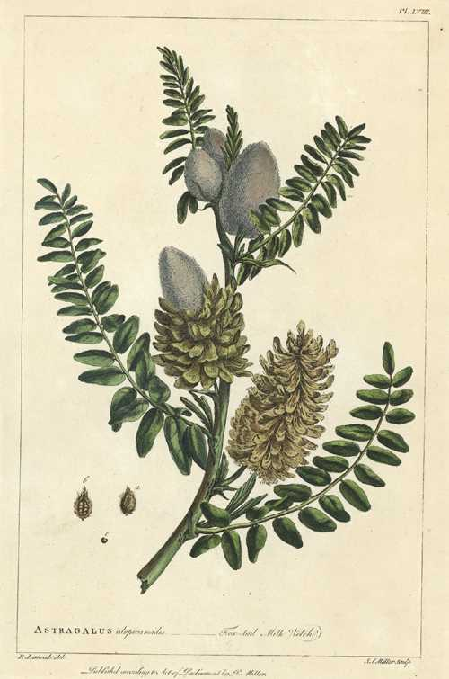 Philip Miller Astragalus alopecuroides, Fox-tail Milk Vetch engraving c1794