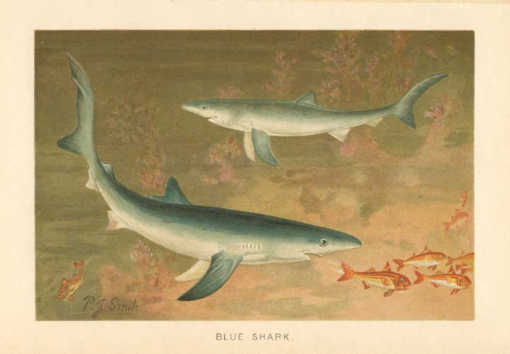 Blue Shark antique print. Chromolithograph by P.J. Smit c1894.