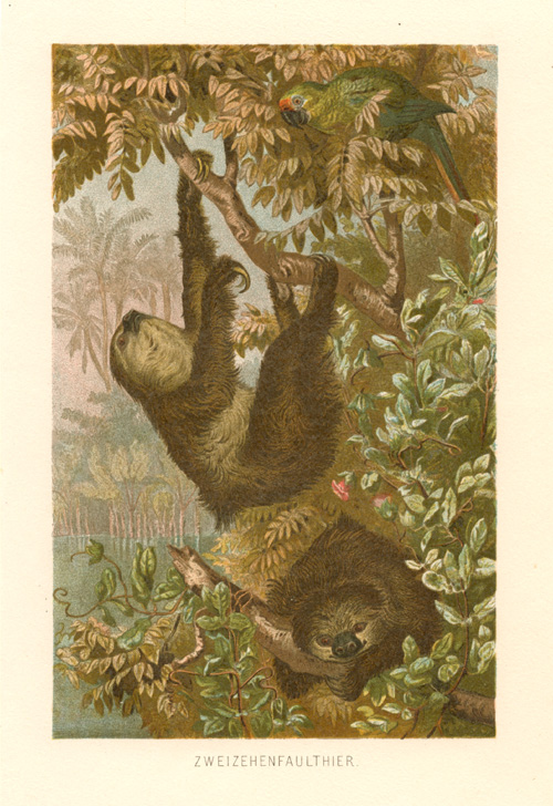 Two-toed Sloths with Parrot. Zweizehfaulthier antique print c1864.