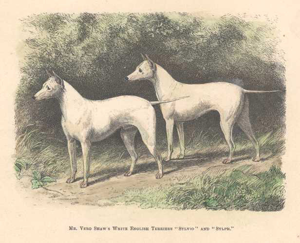 Mr Vero Shaw's White English Terriers. antique print c1878