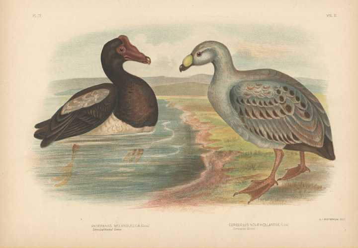 Broinowski lithograph of Semi-palmated Goose. Cereopsis Goose c1890