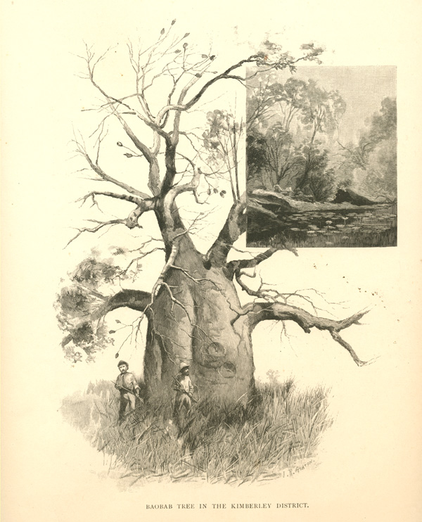 Baobab Tree in the Kimberley District. Boab engraving c1886.
