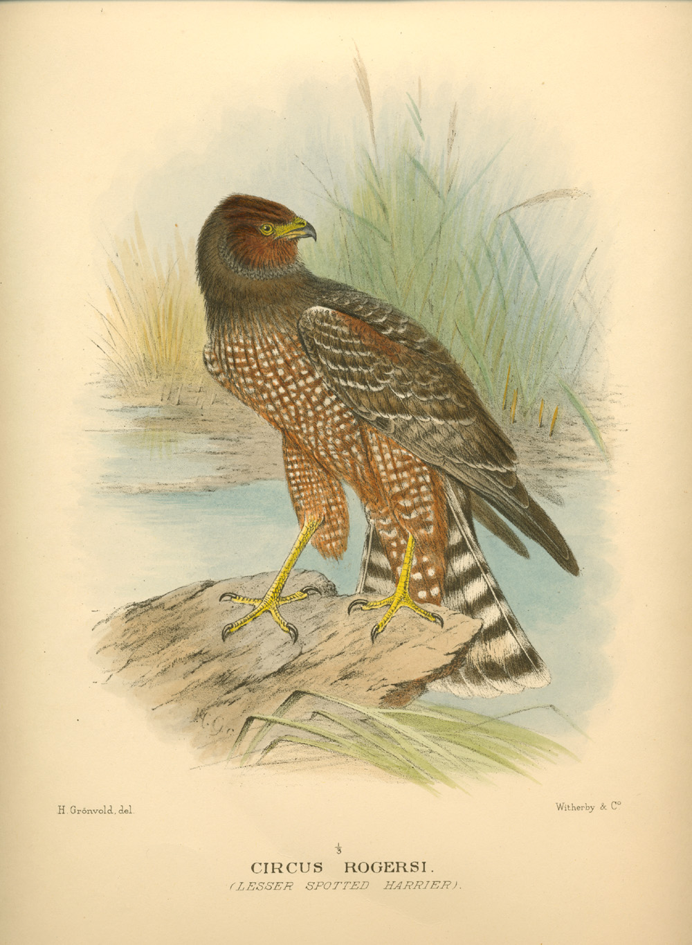 Lesser Spotted Harrier, Circus Rogersi lithograph. Mathews c1910-27.