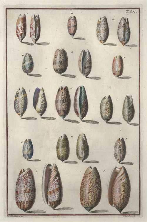 Delicate Mollusc Shells. Gualtieri Conchology Plate 24 copperplate engraving. c1742