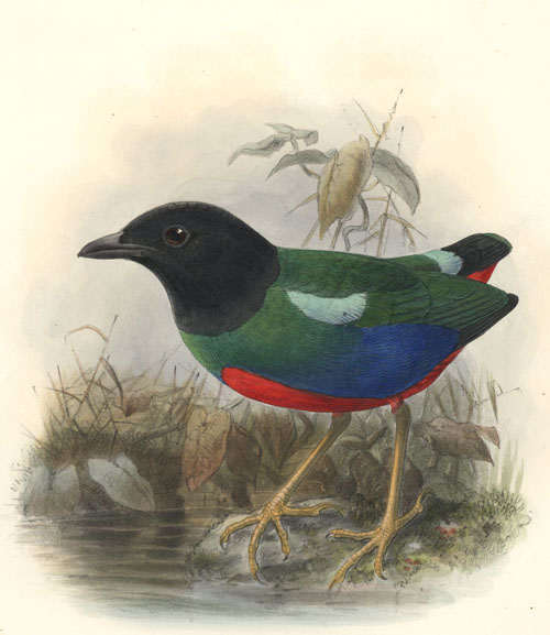 Keulemans hand-coloured lithograph. Pitta Rosenbergii. c1875