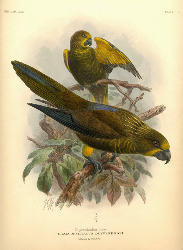 Keulemans lithograph of Duyvenbode's Lory, Chalcopsittacus duyvenbodei. Mivart c1896.