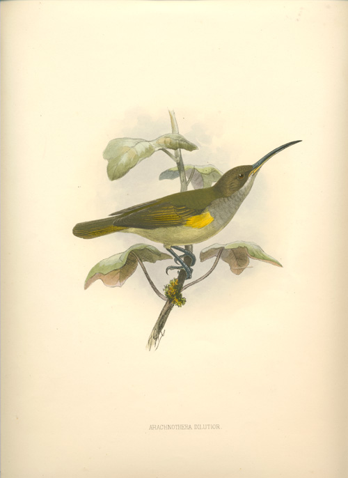 Keulemans Arachnothera Dilutior, Pale Spider Hunter. Keulemans lithograph c1878.