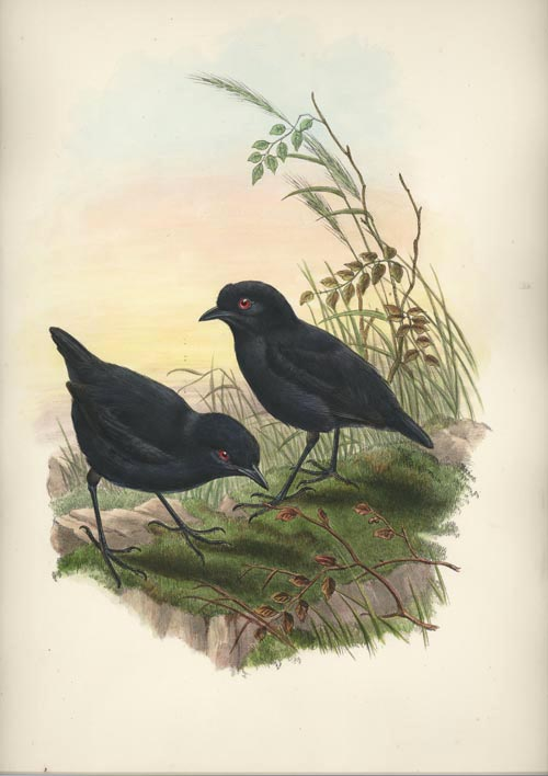 John Gould Melampitta lugubris, Black Ground-Thrush lithograph c1880