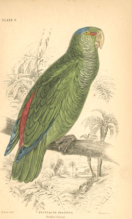 Edward Lear Festive Parrot, Psittacus festivus from South America, c1836.