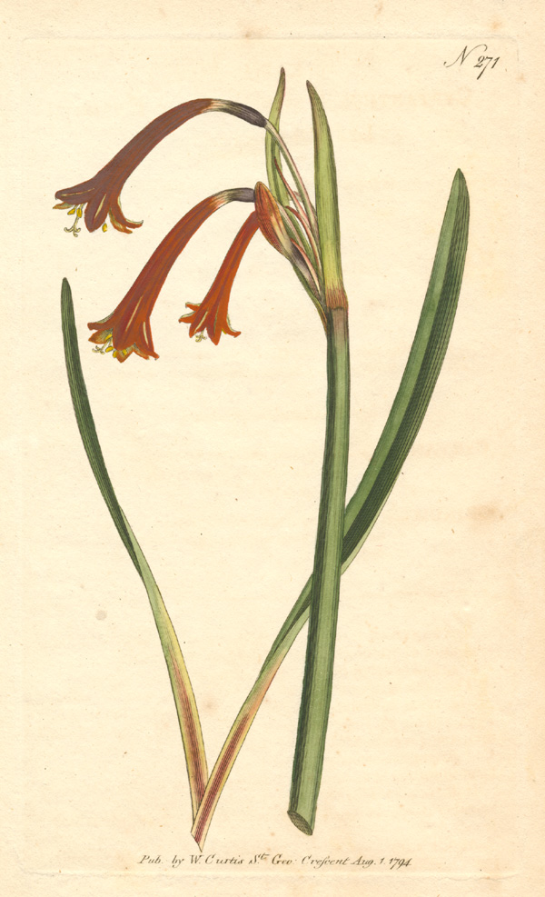 William Curtis Fire Lily, hand-coloured botanical engraving No.271 c1794