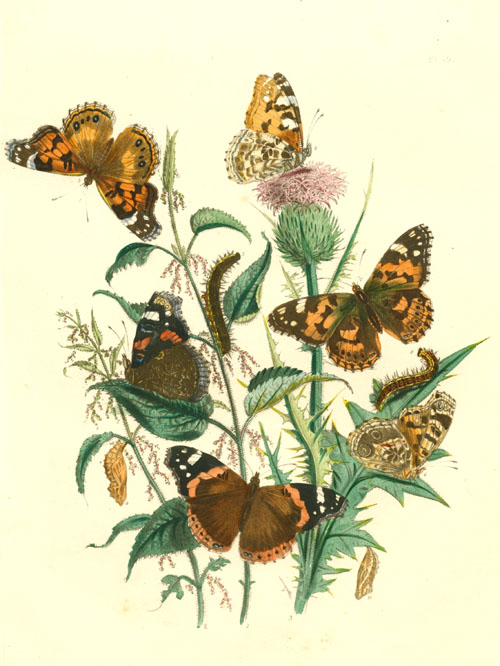 Vanessa and Cynthia Butterflies wonderful antique print c1860.