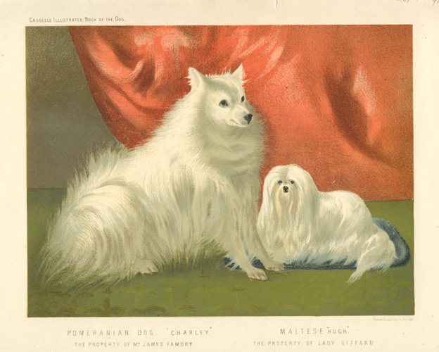 Pomeranian and Maltese dogs antique print. Cassell c1881.