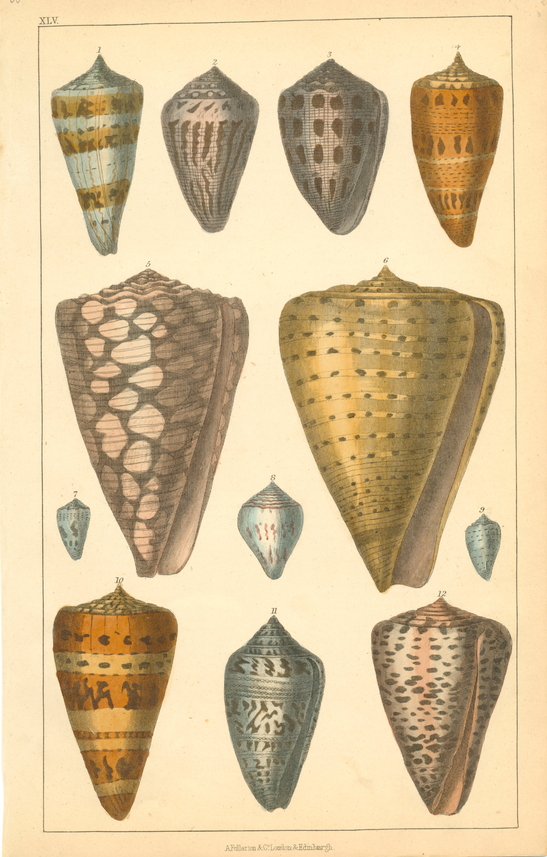 Fine Goldsmith Shells engraving. Fullarton & Co c1852.