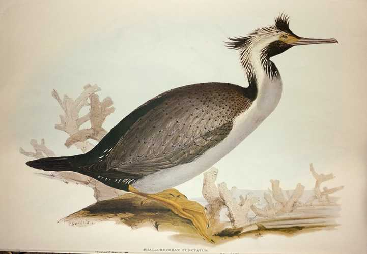 Edward Lear Spotted Cormorant, Phalacrocorax punctatus for Gould