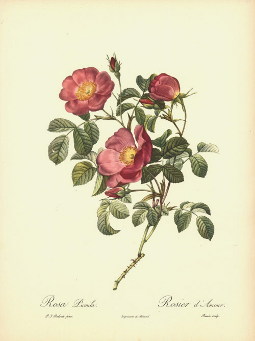 Rosier d'Amour (Rose of Love). Rosa Pumila print.