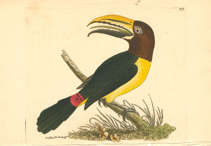 Toucan. R.P. Nodder hand-coloured copperplate engraving c1800.