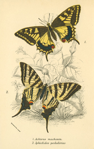 Pretty Achivus machaon butterfly and Iphiclides podalirius butterfly c1897.