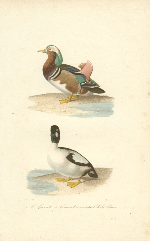 Mandarin Duck and Bufflehead Duck, fine antique print c1837.