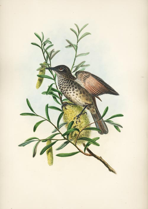John Gould Ptilotis marmorata, Mottled-breasted Honey-eater lithograph c1880