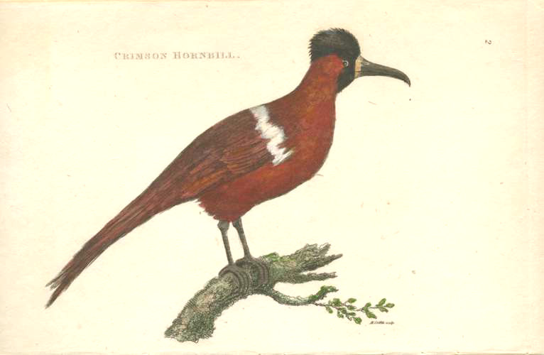 Antique print of Crimson Hornbill. Half-price engraving c1811.
